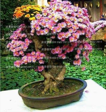 波普盛观菊花种植基地:景区菊花之盆景菊