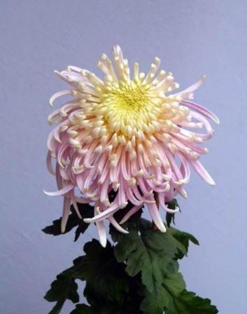 波普盛观菊花种植基地:景区菊花之案头菊