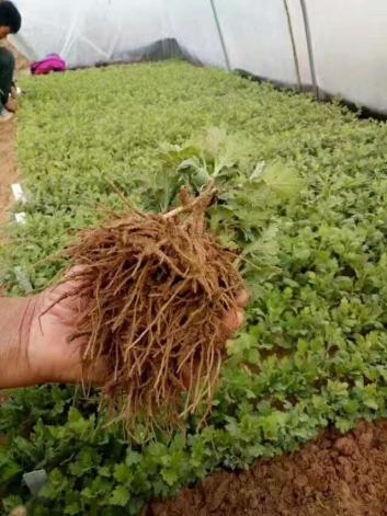 菊花种苗好坏决定菊花造型的质量