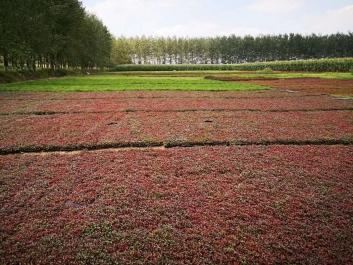 五色草西安五色草立体花坛、五色草绿雕、五色草造型用草种植基地