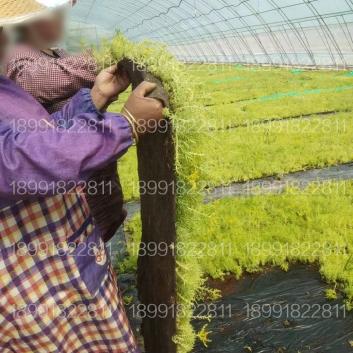 西安屋顶绿化佛甲草、屋顶隔热草坪种植基地