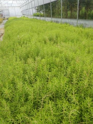 佛甲草、金叶佛甲草、屋顶绿化佛甲草、五色草