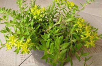 垂盆草种子