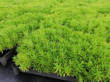 佛甲草屋顶绿化、西安佛甲草基地、佛甲草种植盒培育基地
