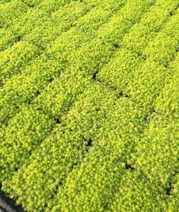 西安波普盛观佛甲草种植合作社