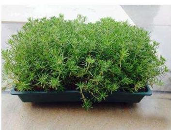 西安佛甲草屋顶绿化种植合作社